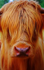 i can see you... (alternativefocus) Tags: hairy norway nose ginger cow pentax scruffy highlandcow icanseeyou pentaxk10d platinumphoto anawesomeshot superhearts alternativefocus