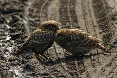 Adelr_20070707_400-Edit (reneadelerhof) Tags: sister brother owl littleowl atheneathene