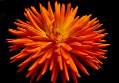 Orange Explosion ! (fidget65) Tags: flower blueribbonwinner flowerscolors flowerotica fantasticflower abigfave shieldofexcellence anawesomeshot superbmasterpiece wowiekazowie diamondclassphotographer flickrdiamond excellentflowers