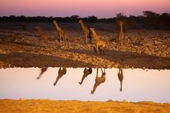 GIRAFFE ALLA POZZA DI NOTTE (peo pea) Tags: africa nature bush wildlife giraffe namibia notte etosha girafe pozza naturalmente 10faves abbeverata nginationalgeographicbyitalianpeople okakuejio peopea wwfita