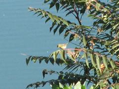 fall warbler