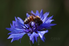The Cornflower and the Bee ( B i b b i ) Tags: flowers summer flower canon flora sweden bee uppsala blomma sverige blommor bi asteraceae cornflower 2007 sommar 30d naturesfinest basketflower bachelorsbutton centaureacyanus canon30d blklint linnaeusgarden sigma70300mmf456apodgmacro platinumphoto anawesomeshot linntrdgrden boutonniereflower thelinnaeangarden