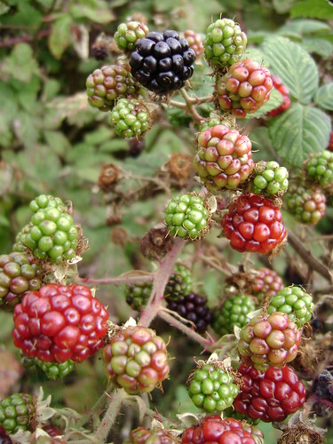 Multi Coloured Blackberries