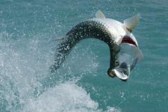 Tarpon (Dave 2x) Tags: usa jumping fishing florida marathon sony poon fighting tarpon floridakeys silverking 70200mm angling flatsfishing bowtotheking sonya700 daveirving httpwwwdaveirvingwildlifephotographycom