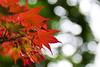 Japanese (nosha) Tags: red sky orange usa green leaves june japanese leaf newjersey spring maple bokeh may nj seed mercer dots mercercounty pennington 2010 lightroom penningtonnj nosha hbw 2870mmf28 bokehdots nikoncorporation nikond300 bokehwednesday may2009 spring2010 1500secatf28