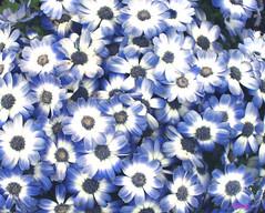 Margaritas 2 (VRNU) Tags: flores vrnu floresporlapaz