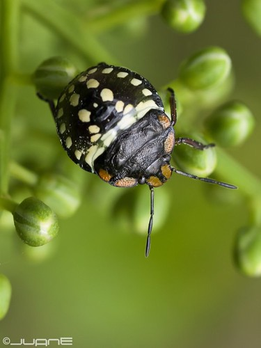 Chinche verde (Nezara viridula) Ninfa joven