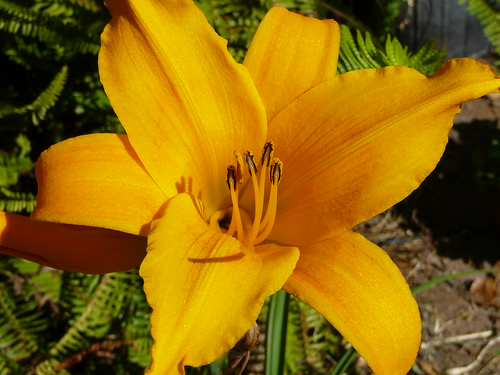 day_lily_60710