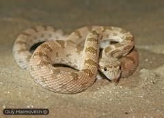 Diadem Snake (Spalerosophis diadema) מטבעון מדברי