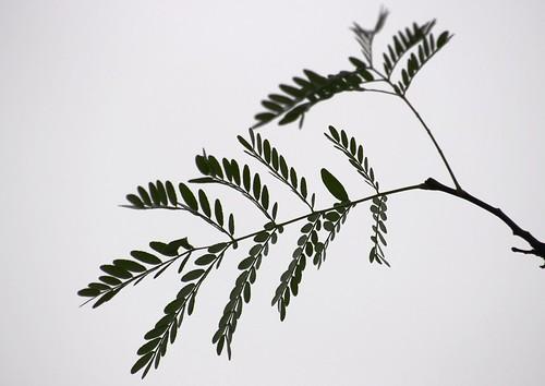 47 Acacia