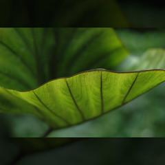 Dark You (Yorick...) Tags: black detail green leave garden wonder dof lotus bokeh yorick 50mmf18d pleasure naturesfinest impressedbeauty infinestyle renaudvince