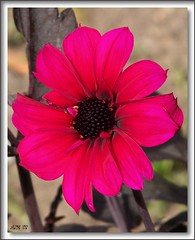Pink Dahlia (Marlowpics/ Anna) Tags: pink dahlia flower psp frame paintshoppro elegance fantasticflower aplusphoto theobligatoryflowerpicture