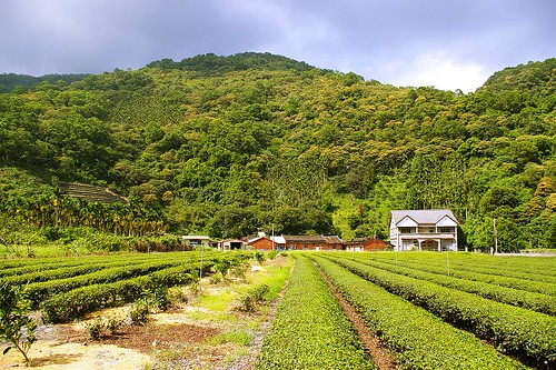 IMGP1921_這裡秋冬時期多霧,適合種茶