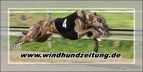 Greyhound - Foto: Nikita aus HH