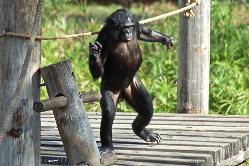 Bonobo dancing