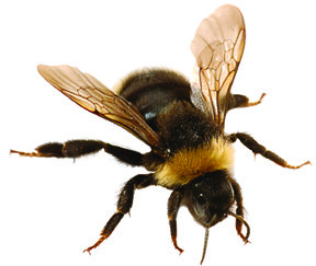 Without pollinators like this honey bee, there would be no apples, blueberries, strawberries, chocolate, almonds, melons, pumpkins and many other tasty foods!
