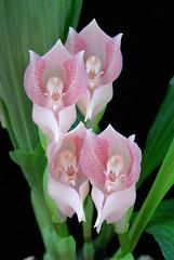 Anguloa virginalis (Eric Hunt.) Tags: pink orchid flower orchidaceae spotted anguloa anguloauniflora anguloavirginalis