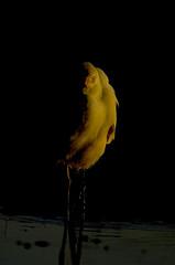 bird 2 (Yousef Al-Asfour) Tags: abstract art nature beautiful birds wow nikon wildlife d2x kuwait nikkor magical nikondigital photooftheday naturesfinest blueribbonwinner vwc nikonians outstandingshots nikonstunninggallery abigfave sellective outstandingshotshighlight kuwaitwildlife anawesomeshot anawesomeshotb impressedbeauty aplusphoto superbmasterpiece naturefinest natursfinest diamondclassphotographer flickrdiamond excellentphotographerawards creativephotographers theunforgetablepicture kuwaitbirds ~vivid~ naturewatcher kvwc kuwaitvoluntaryworkcenter  nginationalgeographicbyitalianpeople yousefalasfour alasfour2000