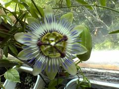 Dsc02918 (bvr_poste) Tags: passiflora