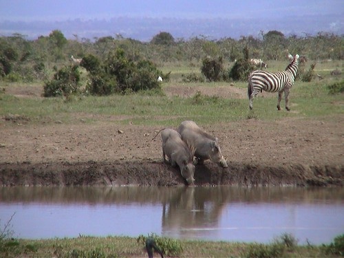 SW Warthogs at the Waterhole