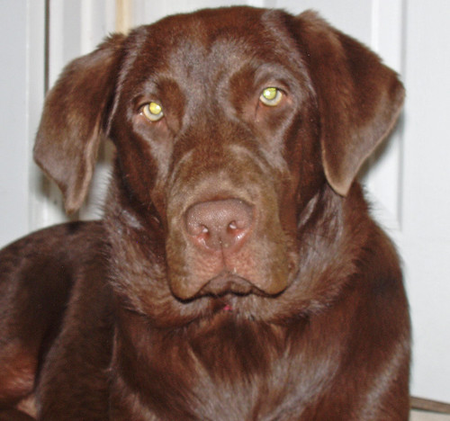 chocolate labrador retriever - Cleo