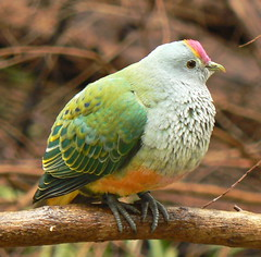 Beautiful Rose-Coloured Fruit Dove (ianmichaelthomas) Tags: rosecolouredfruitdoves doves birds wildlifeofaustralia healesvillesanctuary healesvillevictoriaaustralia animalcraze smorgasbord animaladdiction wonderfulworldmix goldenmix birdwatcher birdwatching naturewatching naturewatcher royalmelbournezoo avisittothezoo auselite qualitypixels itsazoooutthere llovemypics treeofhonor2 friends flickrlovers flickrsbestcreatures vosplusbellesphotos worldofanimals