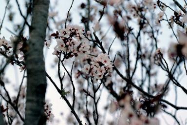 cherry blosom 4