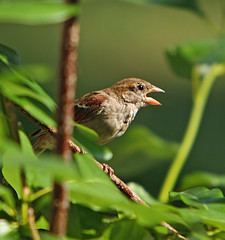Hot as blazes (linda yvonne) Tags: closeup sparrow panting coolingoff naturesfinest toohot featheryfriday interestingness371 birdbehavior i500 specnature abigfave abig