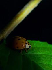 Hidden Beetle