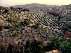 Olive Grove in Andalusia (Landahlauts) Tags: アンダルシア州 olivar campos olivo olives olivetree nivar андалусия ανδαλουσία landahlauts andalusia andaluzio غرناطة olive olivegrove arbonaida منطقةالأندلسذاتيةالحك europa europe اندلس 安達魯西亞 ანდალუსია 안달루시아지방 แคว้นอันดาลูเซีย андалузија אנדלוסיה comarcadeloja oleaeuropaea oleacea mediterranean plantae magnoliophyta magnolipsida lamiales oleaceae olea oeuropaea oliveplantation verano 2007 summer andaluzia comarcadelavegadegranada أندلوسيا andaluz الأندلس andalouzia andalusie andalusiya andalusien 安達魯西亞自治區 アンダルシア 安达卢西亚 安達盧西亞 andalucía andaluzja グラナダ granada منطقةحكمذاتيالأندلس tree arbol village pueblo puebloandaluz andalucia andalusianvillage