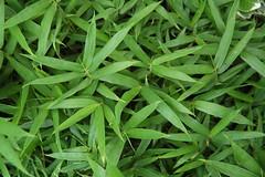Pleioblastus pumilus (I love bamboo) Tags: nikond70 bamboo bambu bambus bamboe guybamboe