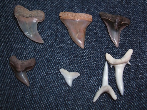 sharks teeth