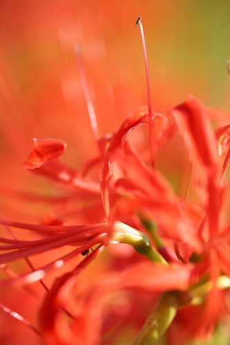 Cluster amaryllis by 5D