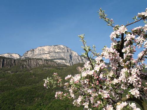 Apfelblüten mit Gandkofel (Mendel) im Hintergrund vom Etschtal aus