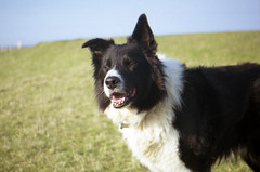 Happy Birthday to Angus (Mike & Indy) Tags: birthday friends dog dogs happy collie angus border indy llanfairfechan httpwwwflickrcomphotosbordies4611106675