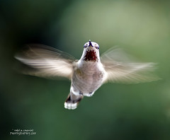 gotcha! (RCAGUIAT / Rodel Caguiat) Tags: sanfrancisco bird animal fly wings aperture nikon san francisco flickr hummingbird air tripod beak feather feeder patio bayarea manual nikkor 70300mmf456g d80 dailyguest