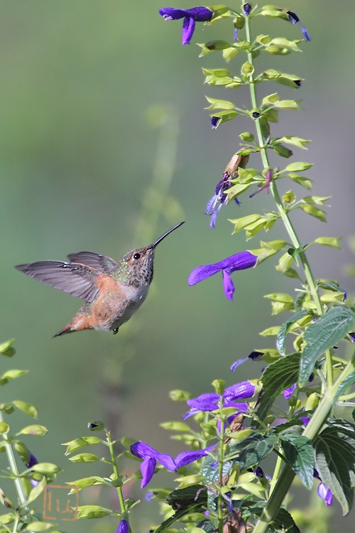 Allen's Hummingbird 102410-3
