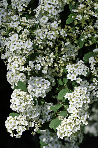 Clustered white flowers in a bush a photo on flickriver clustered white flowers in a bush mightylinksfo