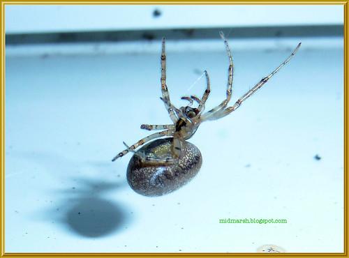 Garden Spider 4