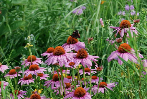 WildConeflowers