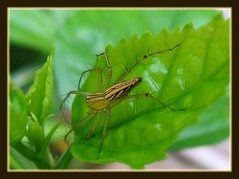 Common Lynx Spider on hibiscus leaf, taken May 20, 2007