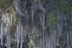 Spanish Moss - by robholland