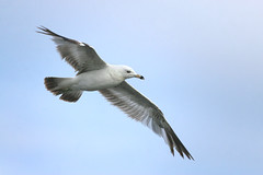 Free Flying (The Nature Nook) Tags: bird seagull questfortherest