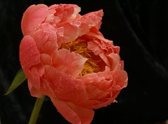 Peony, ---in the rain (tollen) Tags: flowers flower rain drops searchthebest large peach windy peony pacificnorthwest peonies excellence myyard