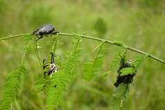 Beetles on the prowl - the race is on for the little caterpillar (10b travelling) Tags: brazil peru latinamerica southamerica ctb project river insect amazon rainforest beetle research volunteering jungle ten volunteer americas carsten sudamerica brink earthwatch 10b yavari cmtb tenbrink
