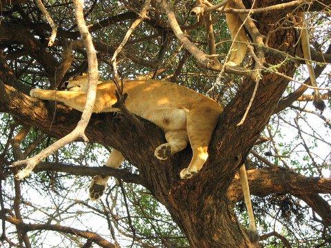 tree-climbing lioness of lake manyara