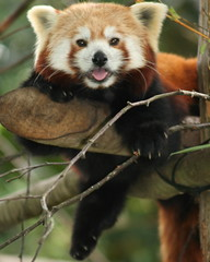 Red Panda (Gary Wilson แกรี่ วิลสัน) Tags: ireland cute animal zoo panda wildlife adorable redpanda endangered dublinzoo platinumheartaward