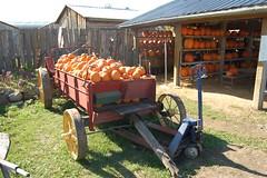 Cannamore pumpkins