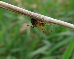 Reed-dwelling spider (Benimoto) Tags: park nature bug insect bay spider state maumee maumeebay maumeebaystatepark larinioidescornutus foliatespider