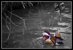 Cruising... (Live.It.Photography) Tags: canon duck europe 7d mandarinduck mothernaturesgreenearth